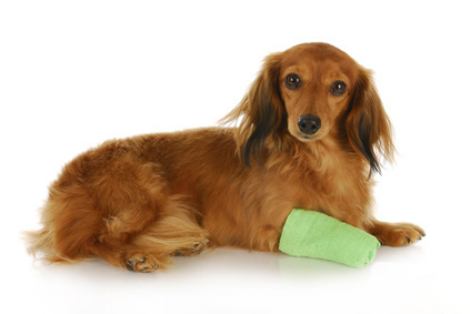 dog with green bandage