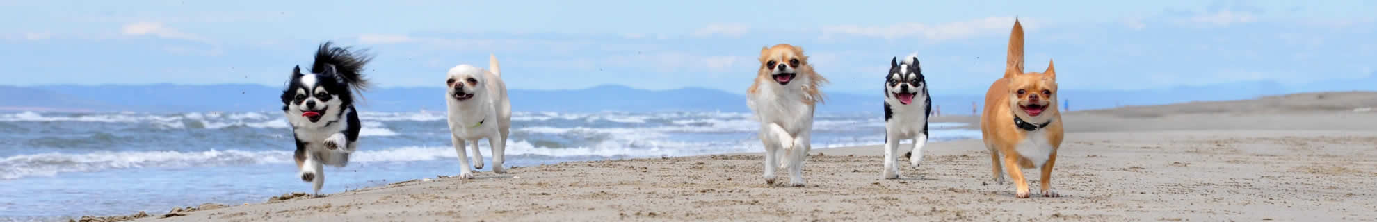 chihuahuas on beach