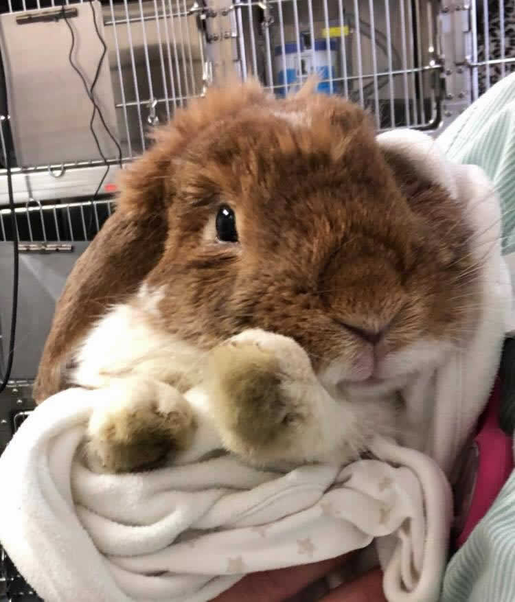 Rabbit at Abbey vets who had dental